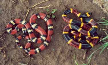 Left: milk snake, right: coral snake. Image courtesy of the West Texas Herpetological society.